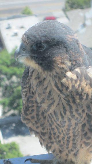 San jose city hall falcon (3)