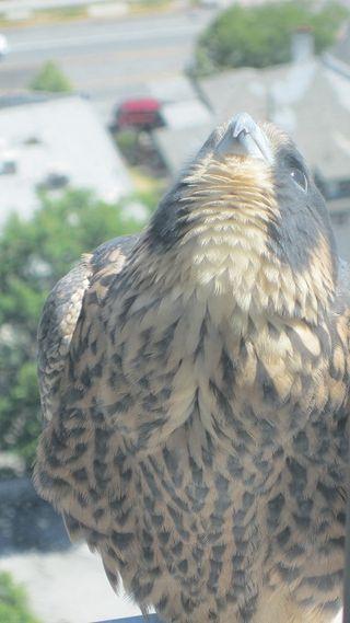 San jose city hall falcon (2)